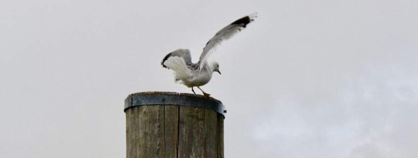Vor grauem Himmel auf einem Holzpfosten ist eine Möwe im Begriff abzuheben, stoppt aber gerade vorher doch noch einmal. Foto: Birte Vogel