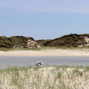 Unter blauem Himmel im Hintergrund hohe Dünen, dann aufgelaufenes Wasser, im Vordergrund eine junge, niedrige Düne, auf der eine Möwe sitzt. Foto: Birte Vogel