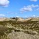Dünenlandschaft auf Amrum: im Vordergrund noch gelbe Dünengräser, dazwischen große Felder von langsam ergrünender Heide und Krähenbeeren. Im Hintergrund quer durchs Bild hohe Dünen, teils mit Gras bewachsen, teils nur heller Sand. Dahinter, kaum sichtbar, ein bisschen Wald und einige Häuser. Darüber ein knallblauer Himmel mit einigen Schäfchenwolken. (Foto: Birte Vogel)