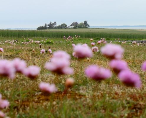 Im Vordergrund viele rosafarbene Strandnelken, dahinter Wiese und ein grünes Getreidefeld, dahinter ein alleinstehendes Friesenhaus direkt am Watt. Am Horizont die Insel Föhr. (Foto: Birte Vogel)
