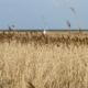 Ein großes Feld mit anderthalb Meter hoch stehendem Ufergras in Beige und Braun, dahinter am Horizont das Watt und die Nachbarinsel Föhr. Darüber ein blassblauer Himmel. Hinten im Gras steht eine Person in einer weißen Winterjacke. (Foto: Birte Vogel)