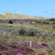 Ein Dünental. Im Vordergrund rosa und violett blühende Heidesträucher, niedrige Weiden, Krähenbeere. Am Horizont hohe, überwiegend mit Dünengras bewachsene Dünen. Darüber ein hellblauer Himmel mit nur wenigen Wolken. (Foto: Birte Vogel)